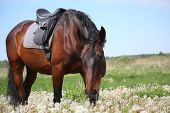 stock photo of bay horse  - Latvian bay horse with saddle at the field with dandelions - JPG