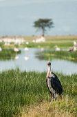 image of sub-saharan  - A single Marabou Stork by the water of Lake Nakuru Kenya - JPG