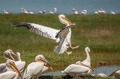 foto of flogging  - A Pelican coming in for landing in the grass next to lake Nakuru in Kenya - JPG