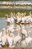 picture of flogging  - Pelicans by the water with some more pelicans in the middle ground and some flamingos in the distance at lake Nakuru in Kenya - JPG