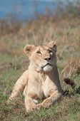 foto of sub-saharan  - Lioness lying in the short grass of a small hill inside of Ngorongoro Crater in Tanzania - JPG