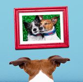 picture of stare  - jack russell dog from back behind watching looking or staring his big love in a frame at the wall remembering old good times - JPG