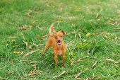 picture of miniature pinscher  - Happy puppy of Miniature Pinscher and pooch playing on green grass in yard with moving tail - JPG