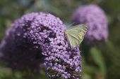 image of butterfly-bush  - This is Buddleia - JPG