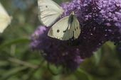 foto of butterfly-bush  - This is Buddleia - JPG
