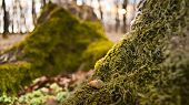 foto of acorn  - Fallen acorns on green muscles at the base of a tree in the forest - JPG