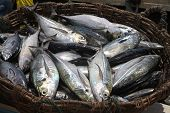 stock photo of caught  - A basket full of fishes just caught - JPG