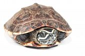 stock photo of carapace  - the big  turtle isolate on white background - JPG
