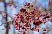 pic of rowan berry  - Rowan berries Mountain ash tree with ripe berry