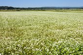 picture of buck  - Buck wheat field where flowers grow in autumn - JPG