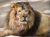picture of zoo  - Portrait of male lion at zoo looking away - JPG
