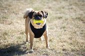 stock photo of toy dogs  - dog with squeeze toy wearing black vest - JPG