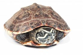 foto of terrapin turtle  - the big  turtle isolate on white background - JPG