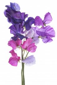 pic of sweet pea  - Studio Shot of Multicolored Sweet Pea Flowers Isolated on White Background - JPG