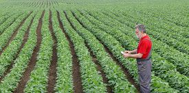 foto of soybeans  - Farmer or agronomist examine soybean plant in field using tablet - JPG