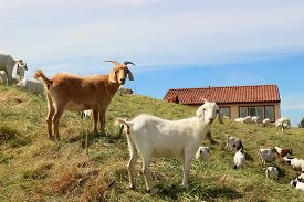 stock photo of open grazing area  - Young goats grazing in the field in rural area - JPG