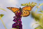 image of monarch butterfly  - A butterfly high up in the sky atop a purple plant - JPG