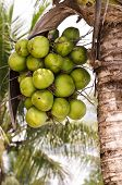 Coconut Cluster On Coconut Palm Tree poster