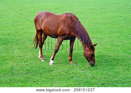 poster of Grazing Brown Horse On The Green Field. Brown Horse Grazing Tethered In A Field. Horse Eating In The