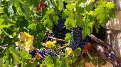 Juicy ripe bunch of grapes Cabernet Sauvignon. The vineyards of Greece poster
