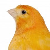 picture of canary  - Close - JPG