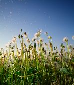 Fluffy dandelions with flying seeds on a blue sky background poster