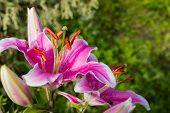 Pink White Lilies Bloom In A Clump Against A Green Nature Background, Stamens Full Of Pollen. Summer poster