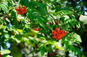 Bright Rowan Berries On A Tree. Rowan Berries In Sunlight. Orange Berries. poster