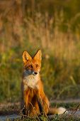 A Cute, Young, Fiery, Red Fox Cub Sits, Lit By The Evening Sun, Against The Background Of Grass. He  poster
