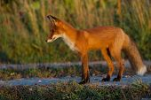 A Cute, Young, Fiery, Red Fox Cub Stands, Lit By The Evening Sun, Against The Background Of Grass. L poster
