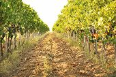 View Of Vineyard Rows With Fresh Ripe Juicy Grapes On Sunny Day poster
