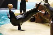 A performing sealion balancing a ball