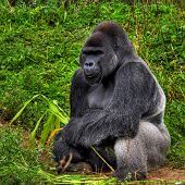 picture of male-domination  - A male silver back gorilla sitting holding a piece of bamboo - JPG