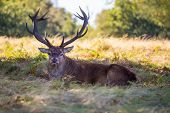 Red Deer Male Stag Mammal With Antlers Resting In The Forest Looking At Camera poster