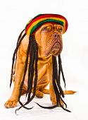 image of rastaman  - Funny Dogue De Bordeaux in Rastafarian Hat with Dreadlocks - JPG