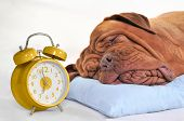 stock photo of bull-mastiff  - Big Dog Sleeping Sweetly with Golden Alarm - JPG