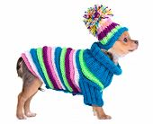 Chihuahua puppy dressed with handmade sweater and hat, isolated