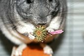 Gray Fluffy Chinchilla. A Rodent Eats A Flower Of Echinacea. poster