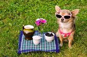 stock photo of chiwawa  - Little chihuahua dog wearing pink t - JPG