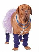 stock photo of dogue de bordeaux  - Big dogue de bordeaux dressed like ballerina isolated on white - JPG