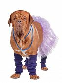 Dogue de boredaux dressed with skirt and leg warmers