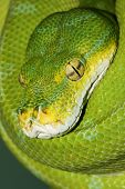 stock photo of green tree python  - Close - JPG