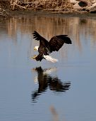 stock photo of fish-eagle  - Bald eagle preparing to grab a fish at Farmington Bay Utah - JPG