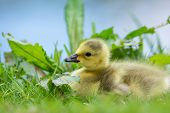 picture of baby goose  - Little baby Canada goose - JPG