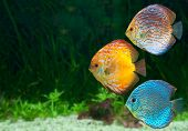 foto of green algae  - Three bright discus freshwater fish native to the Amazon River in aquarium - JPG