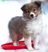 picture of sheltie  - little sheltie puppy standing on a red disk - JPG