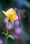 picture of yellow rose  - Dragonfly elegantly stay on flower yellow rose - JPG
