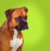 Adorable boxer dog in profile on green background