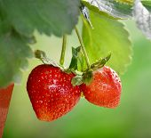 stock photo of strawberry plant  - ripe strawberry - JPG