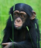 stock photo of chimp  - a photo of a baby chimp sitting in the grass  - JPG